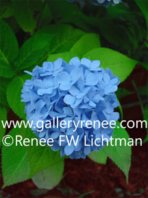 """Blue Hydrangea""  Digital Photography, Garden Flower Art Gallery, Artist Renee FW Lichtman"