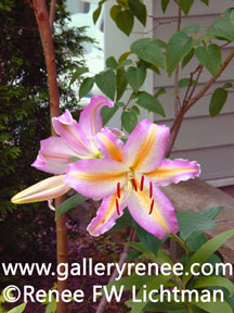 """Lily and Lilac"" Botanical Photography, Garden Flower Art Gallery, Fine Art for Sale from Artist Renee FW Lichtman"