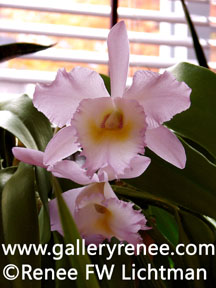 """Pink Cattleya in Sunlight""  Digital Photography, Photoigraphic Art  Gallery, Artist Renee FW Lichtman"
