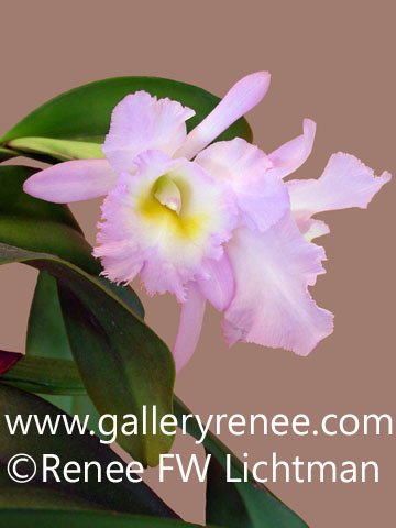 """pink Cattleya Photo One"" Photography, Botanical and Floral Art Gallery, Orchid Art Gallery, Photographic Art Gallery, Fine Art for Sale from Artist Renee FW Lichtman"