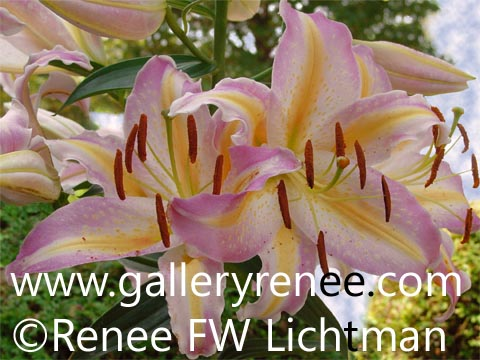 """Pink Summer Lily"" Photographic Art, Botanical and Floral Art Gallery,Garden Flower Art Gallery,Photographic Art Gallery, Fine Art for Sale from Artist Renee FW Lichtman"