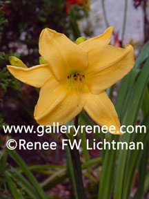 """Yellow Day Lily"" Botanical Photography, Garden Flower Art Gallery, Fine Art for Sale from Artist Renee FW Lichtman"